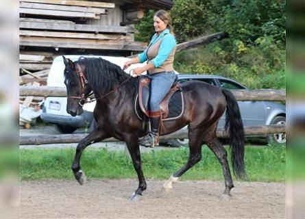 Andalusian, Gelding, 6 years, 14.3 hh, Black