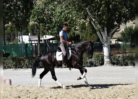 Andalusier Mix, Wallach, 4 Jahre, 167 cm, Rappe