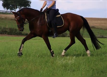 KWPN, Mare, 11 years, 16.1 hh, Brown
