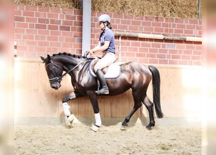 Other Warmbloods Mix, Mare, 4 years, 15.1 hh, Black