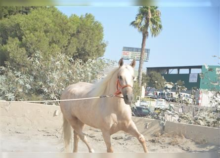 Andaluces, Yegua, 7 años, 157 cm, Palomino