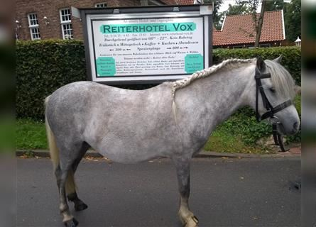 More ponies/small horses, Gelding, 4 years, 10.1 hh, Gray-Dapple