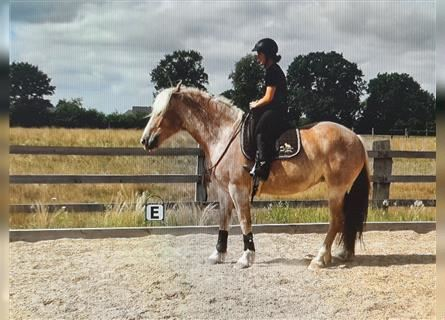 Cob Mix, Mare, 6 years, 15.1 hh