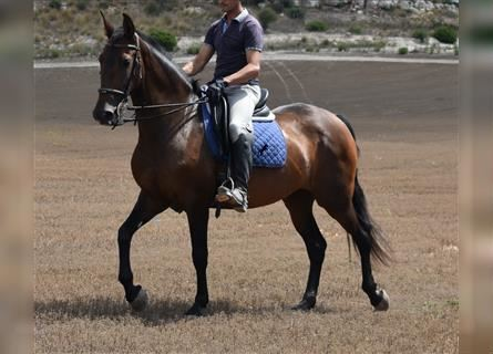 Andalusian, Mare, 8 years, 15.3 hh, Brown