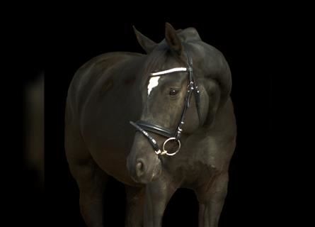 German Riding Horse, Mare, 5 years, 15.2 hh, Black