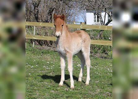 Icelandic Horse, Mare, Foal (03/2021), 13.3 hh, Chestnut-Red