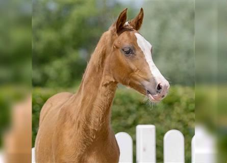 German Riding Pony, Mare, Foal (01/2021), Chestnut-Red