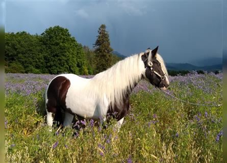 Gypsy Horse, Mare, 6 years, 14.2 hh, Pinto