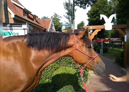 More ponies/small horses, Gelding, 7 years, 14.2 hh, Brown