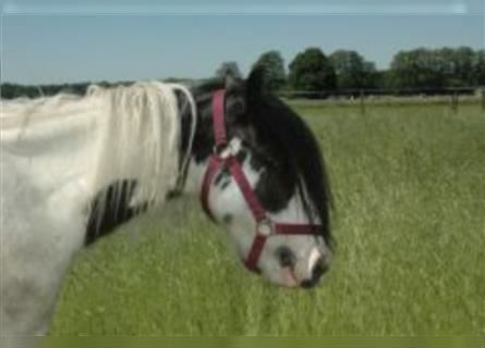 Gypsy Horse, Mare, 4 years, 12.2 hh, Pinto