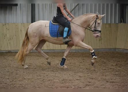 Other Breeds, Mare, 5 years, 15.1 hh, Perlino