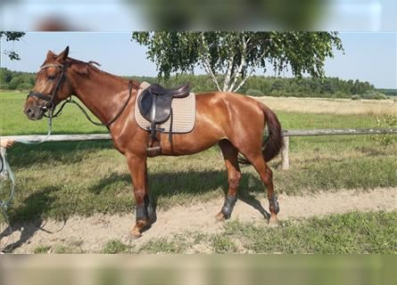 Polish Halfbred, Mare, 4 years, 16.2 hh, Chestnut-Red