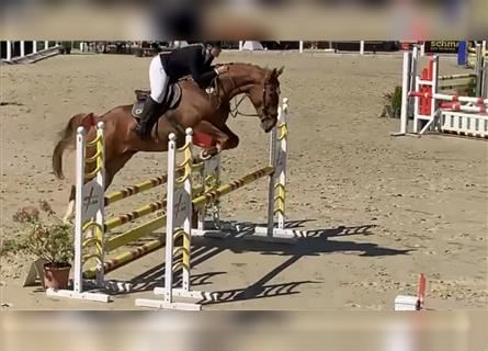Polish Warmblood, Mare, 4 years, 16.1 hh, Chestnut-Red