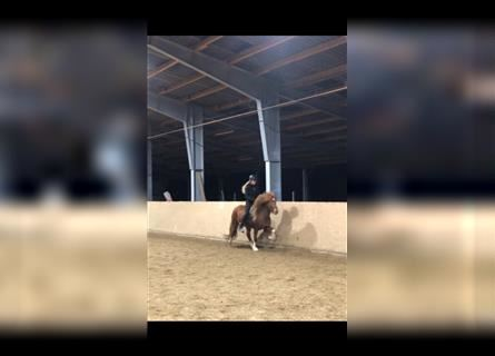 Icelandic Horse, Mare, 8 years, 13.2 hh, Pinto