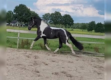 Baroque Pinto, Mare, 3 years, 16 hh, Pinto