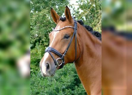 Hanoverian, Mare, 4 years, 17 hh, Brown