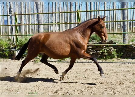 Andalusian, Mare, 14 years, 16 hh, Brown