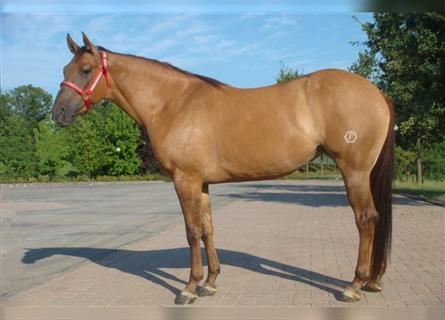 Quarter Horse, Mare, 13 years, 15.1 hh, Red Dun