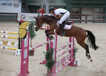 KWPN, Mare, 11 years, 16.1 hh, Bay