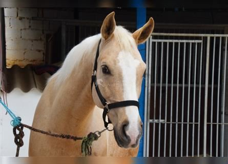 Andalusian, Gelding, 10 years, 15.2 hh, Palomino