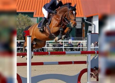 KWPN, Mare, 7 years, 16.1 hh, Brown
