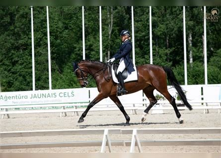 German Sport Horse, Mare, 10 years, 16.1 hh, Bay