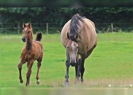 Holstein, Stallion, Foal (06/2021), Can be white