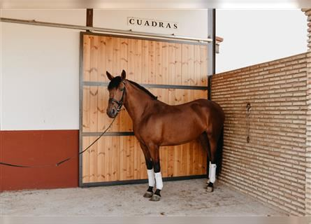 Other Breeds, Mare, 5 years, 15.2 hh, Brown