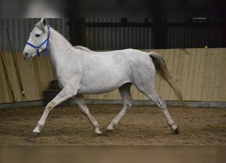 Other Breeds, Mare, 4 years, 14.1 hh, White