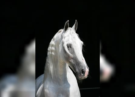 Tennessee walking horse, Stallion, 28 years, 14.3 hh, Gray