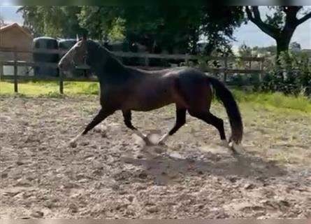 KWPN, Mare, 4 years, 16.1 hh, Brown