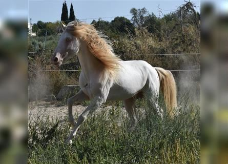 Andalusian, Stallion, 11 years, 15 hh, Perlino