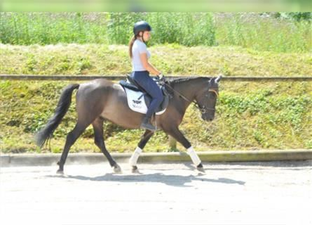 More ponies/small horses, Gelding, 3 years, 13.2 hh, Dun