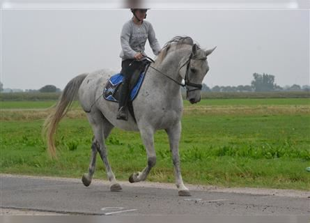 Other Breeds, Gelding, 10 years, 15.2 hh, Gray