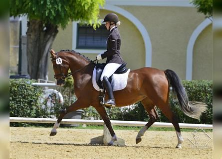 More ponies/small horses, Mare, 6 years, 14.2 hh