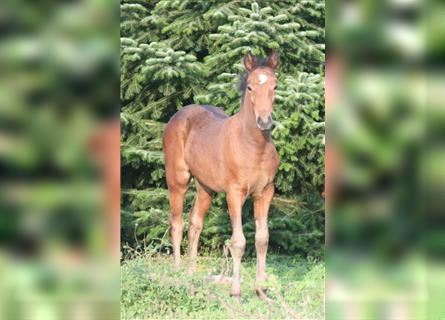 Mustang (canadian), Mare, Foal (06/2021), 15.1 hh, Brown