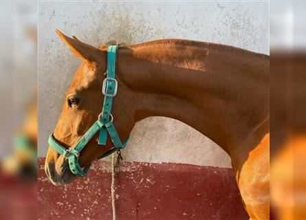 Andalusian, Mare, 2 years, 13.3 hh, Chestnut-Red