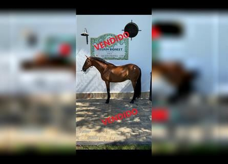 Anglo-Arab, Gelding, 9 years, 16.1 hh, Brown