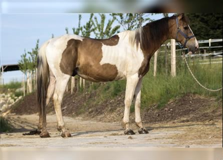 NMPRS Mix, Gelding, 17 years, 16 hh, Pinto
