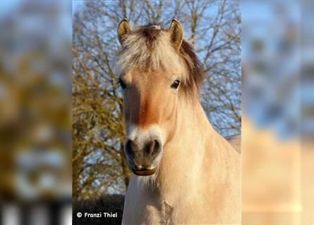 Fjord Horses, Mare, 6 years, 14.1 hh, Dun