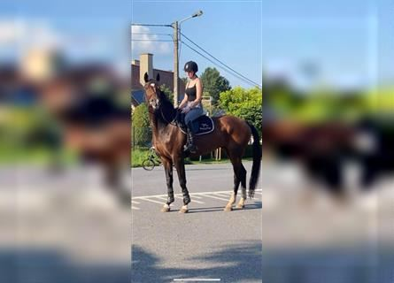 KWPN, Mare, 13 years, 16.1 hh, Brown