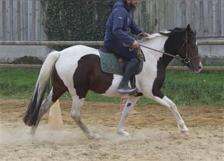 Curly horse, Mare, 4 years, 14.2 hh, Tobiano-all-colors