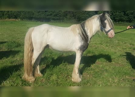 Gypsy Horse, Gelding, 3 years, 12.1 hh, Pinto