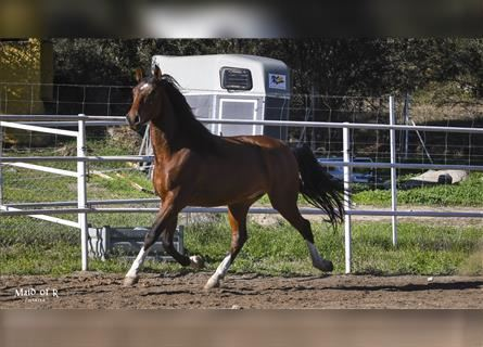 Andalusian, Gelding, 4 years, 15.1 hh, Brown