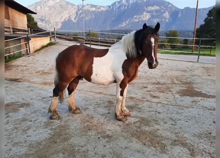 More ponies/small horses, Gelding, 11 years, 14.1 hh, Pinto
