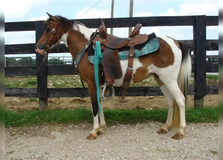 Paint Horse, Mare, 10 years, 11.2 hh, Bay