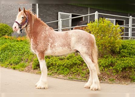 Clydesdale, Wallach, 6 Jahre, 176 cm, Roan-Bay