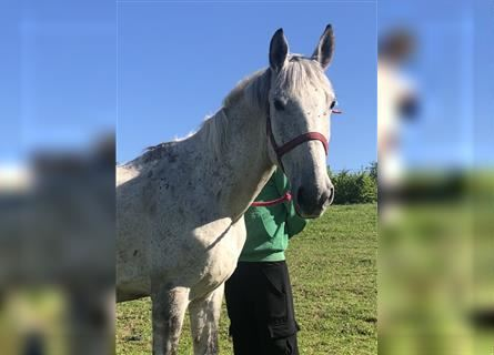 Other Warmbloods, Mare, 8 years, 16 hh, Gray-Dapple