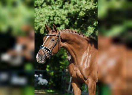 KWPN, Mare, 4 years, 16.1 hh, Chestnut-Red
