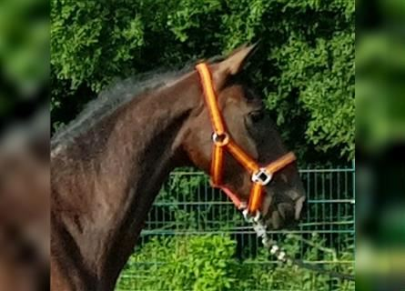 More ponies/small horses, Gelding, 5 years, 14.1 hh, Brown